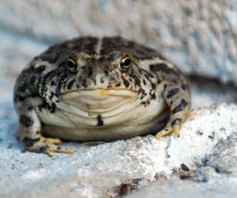 Fat Woodhouse Toad 2