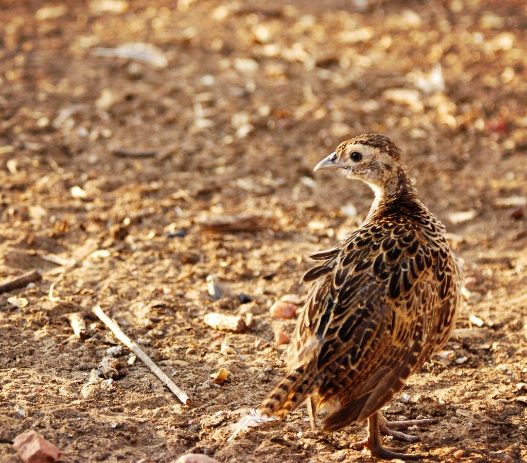 Pheasant Chick 1