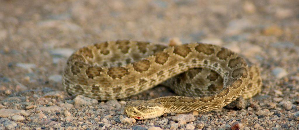 Rattlesnake in Washakie County