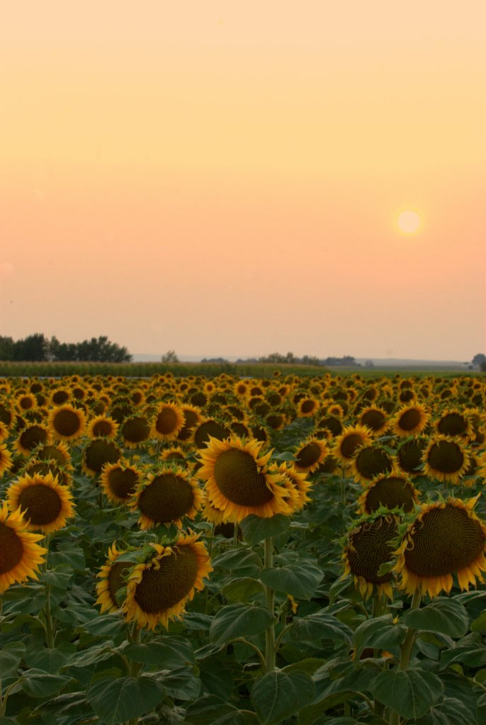 Fire Sunflowers