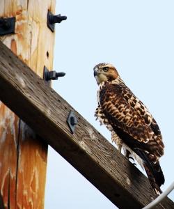 Hawk in Goshen County
