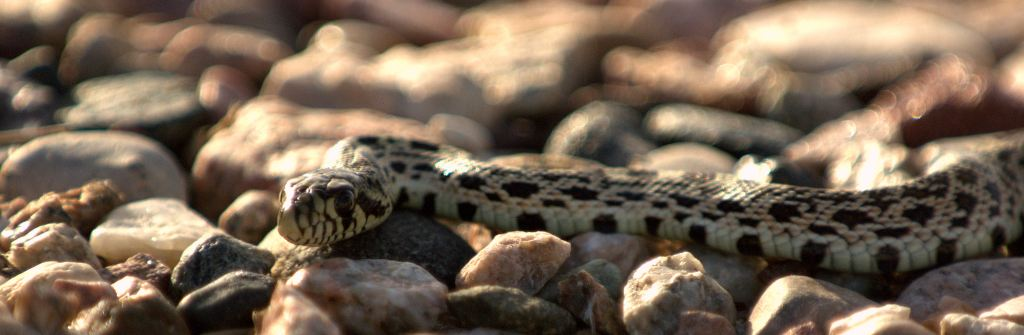 Young Bull Snake 3