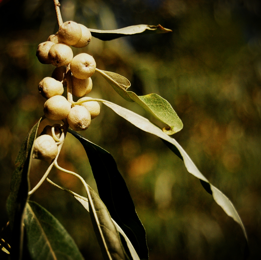 Russian Olive 2