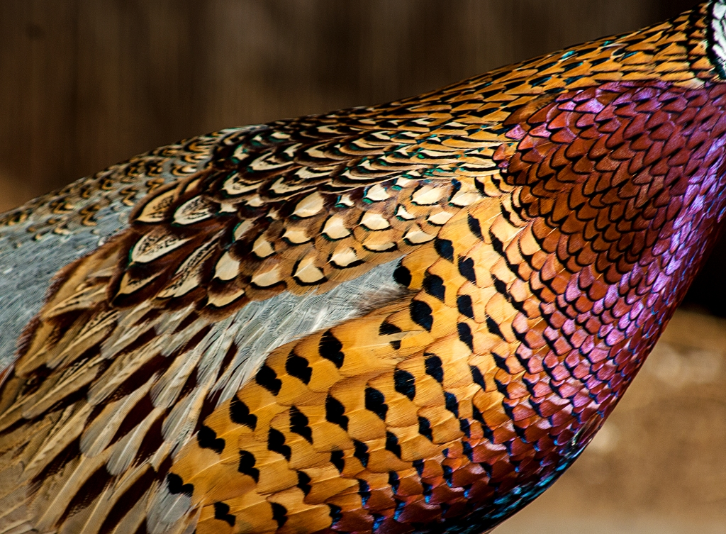 Ornate Pheasant Plumage