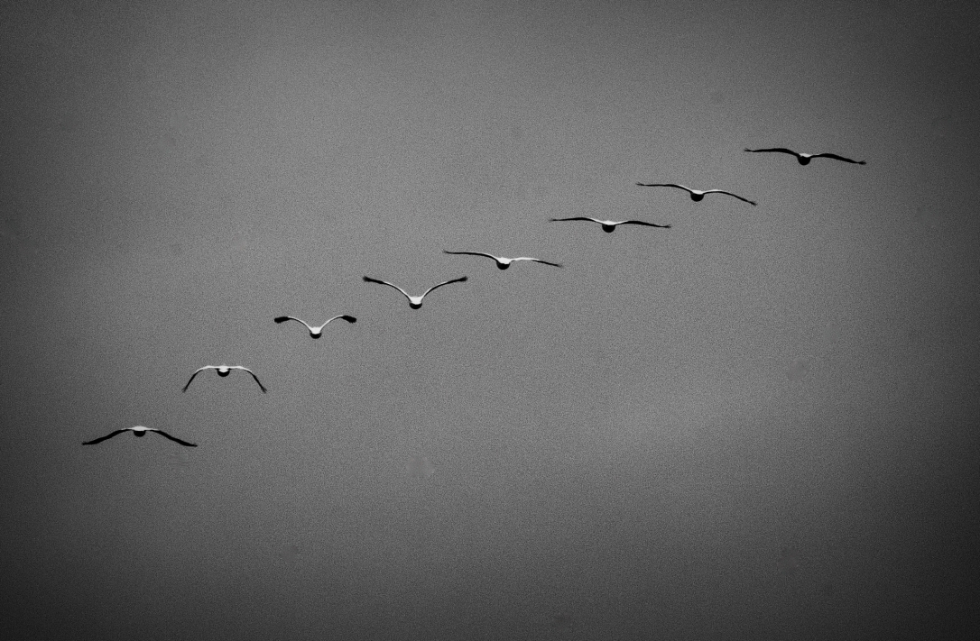 Pelicans BW