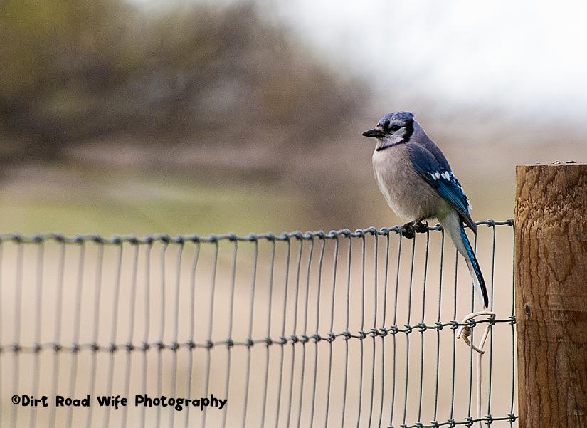 Blue Jay CR
