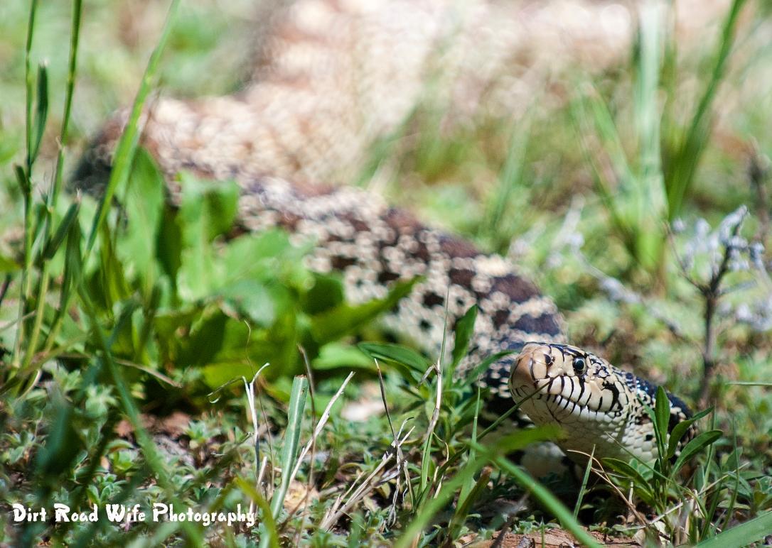Blue Snake 2 CR