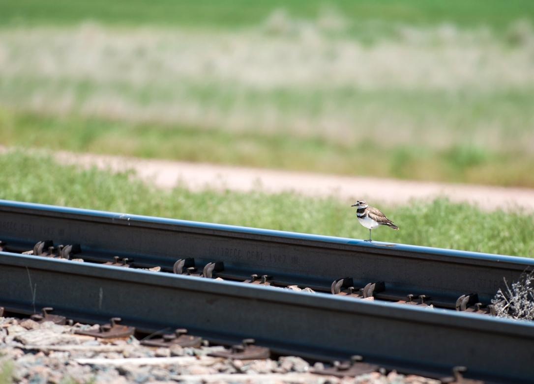 Killdeer on the Railroad Tracks