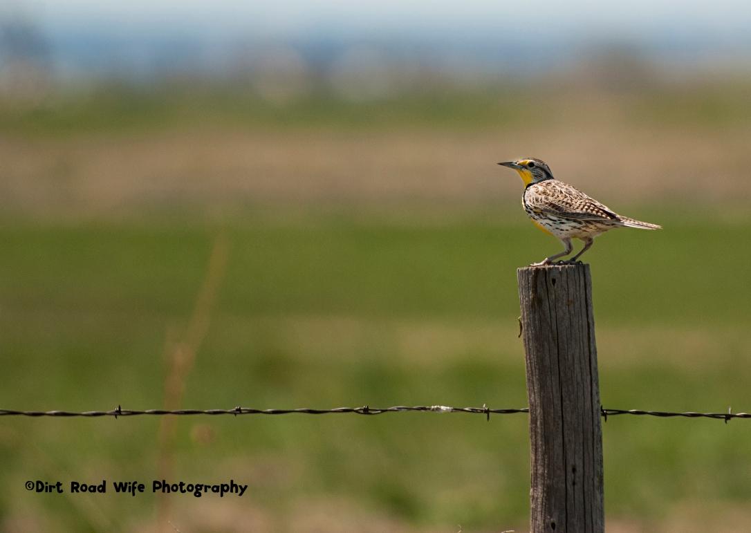 Meadowlark CR
