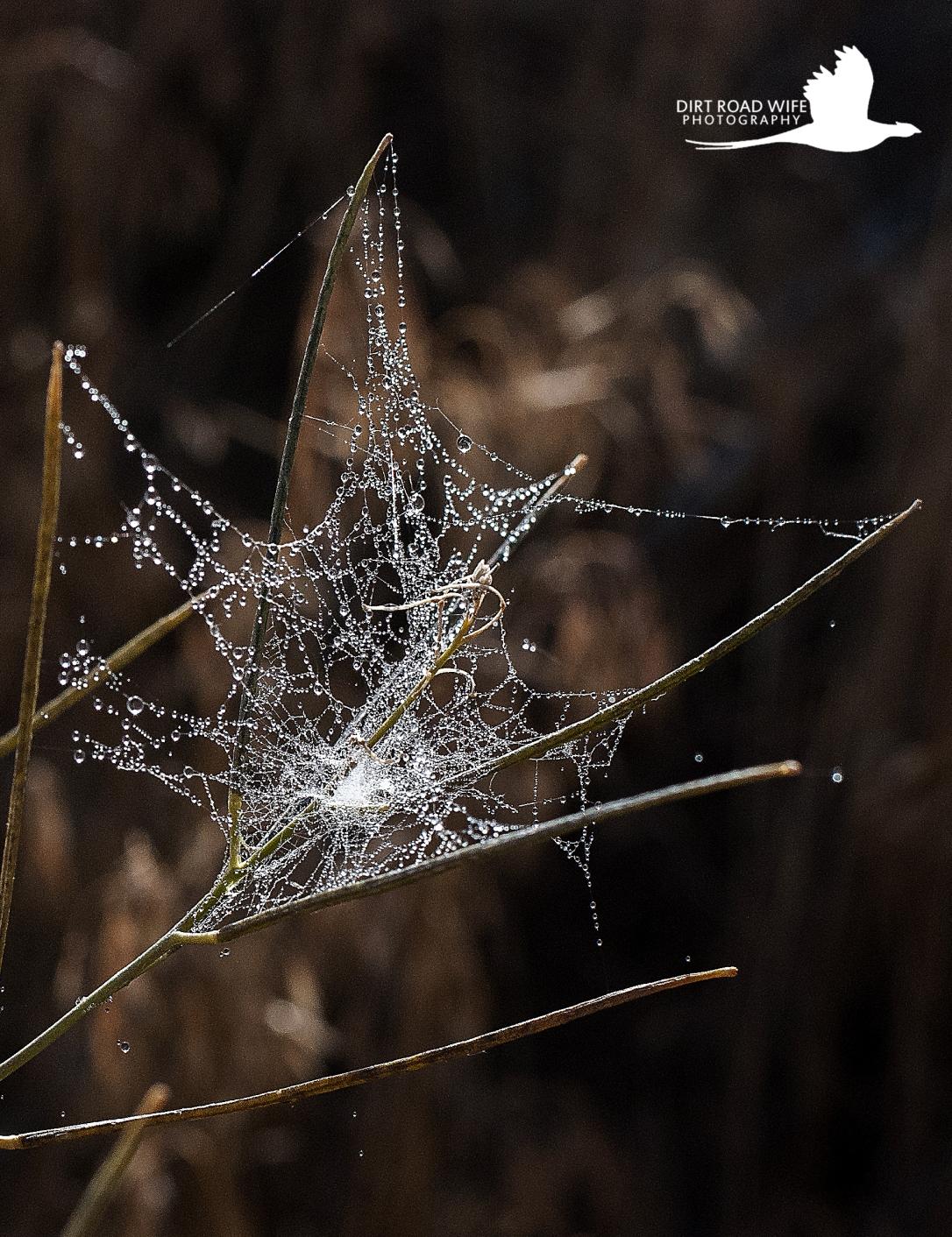 Spider Web 1 CR