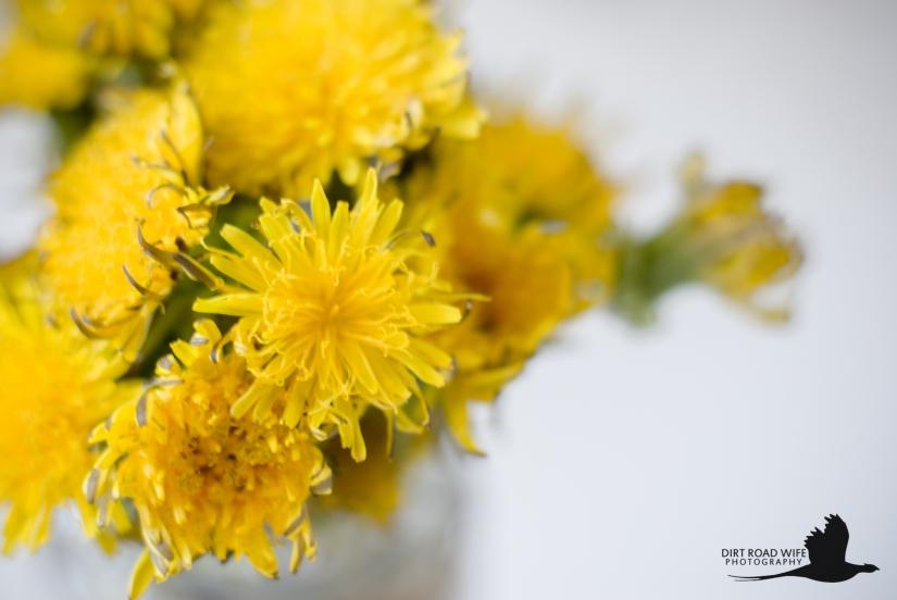 Dandelions-2.jpg
