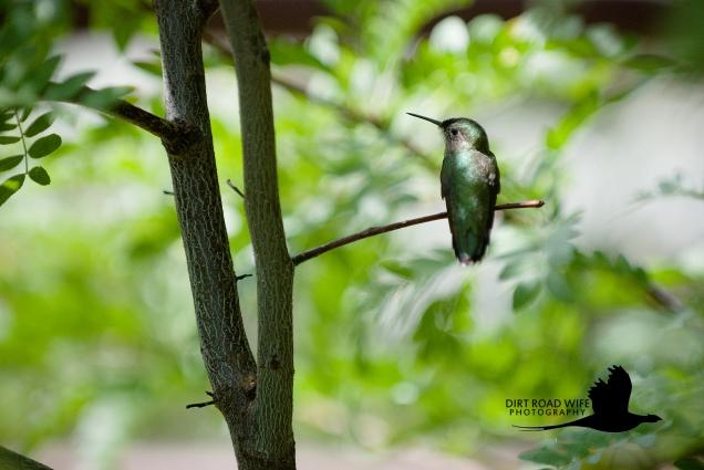 Humming Bird CR