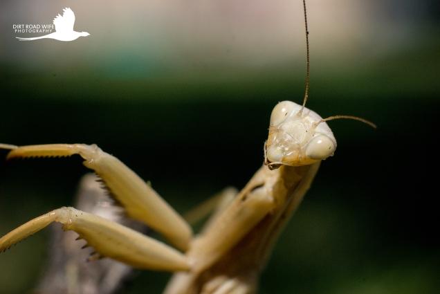 Praying Mantis Final-3 CR