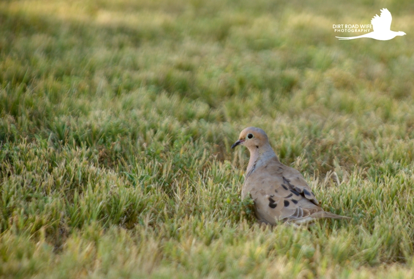 mourning-dove-1-of-1