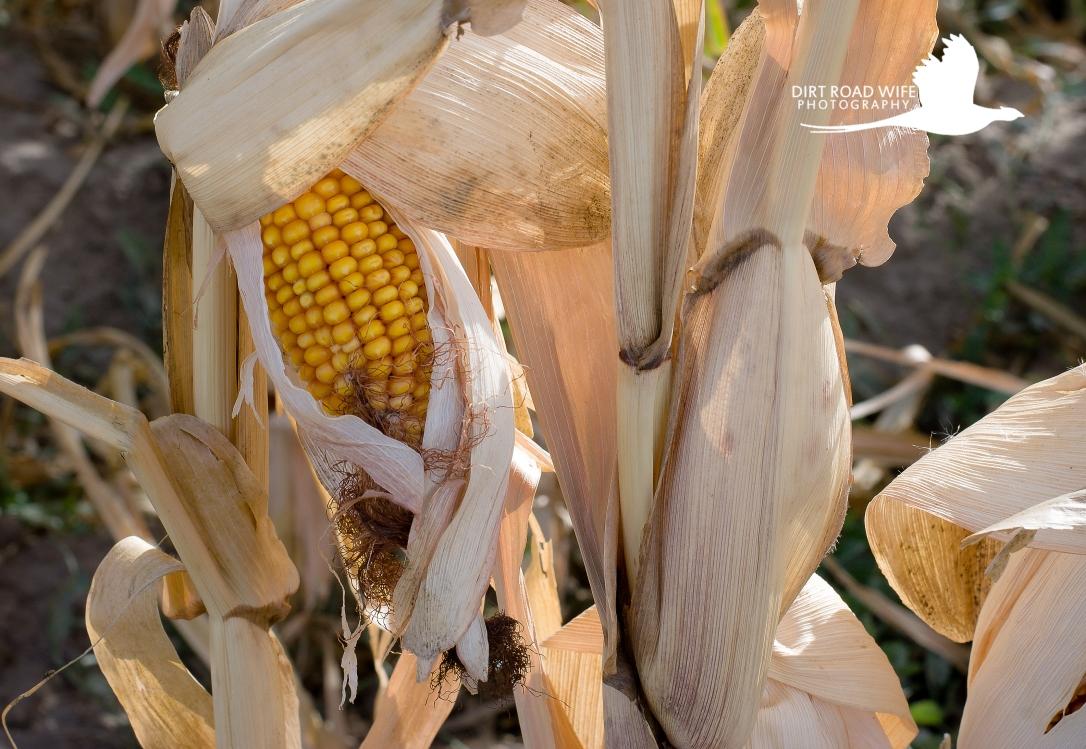 Pop Corn CW.jpg
