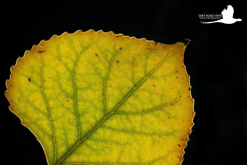 Fall Leaf 1.jpg