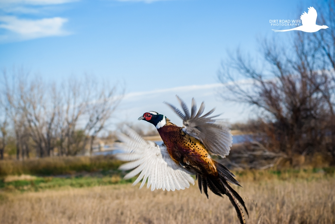 Pheasant Flush CW-1.jpg