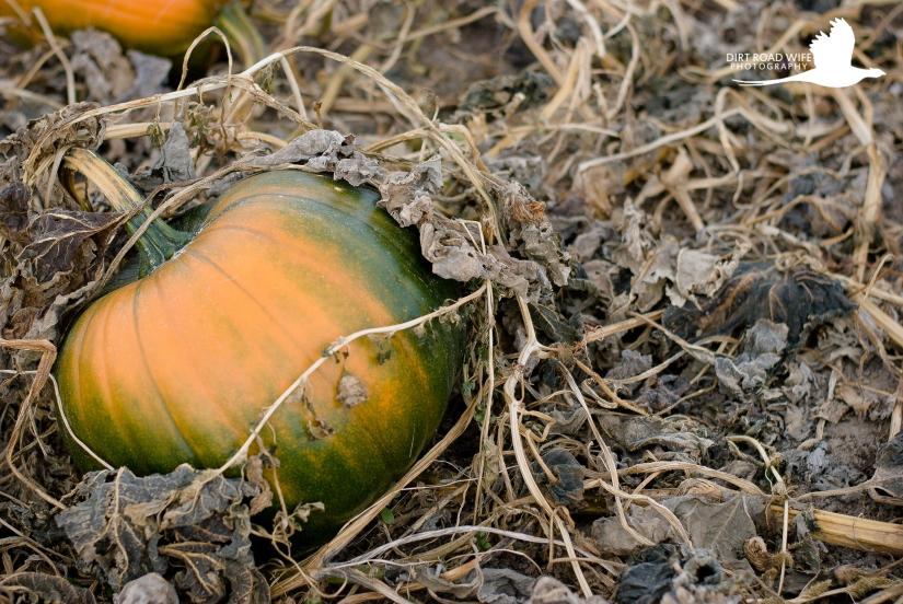 pumpkin-1-2