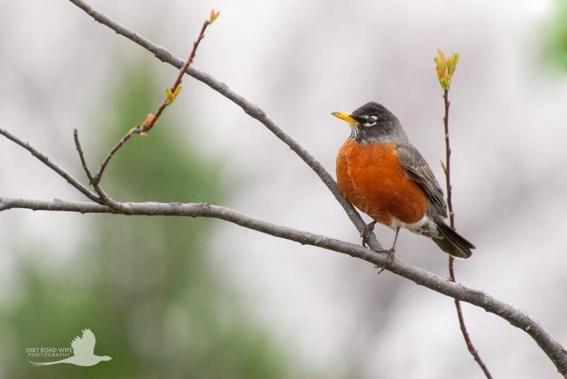 Robin 2 DRW