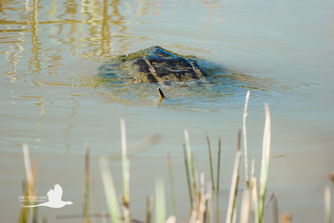 Snapping Turtle-1DRW