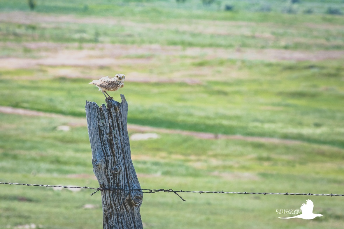 Burrowing Owl-1DRW