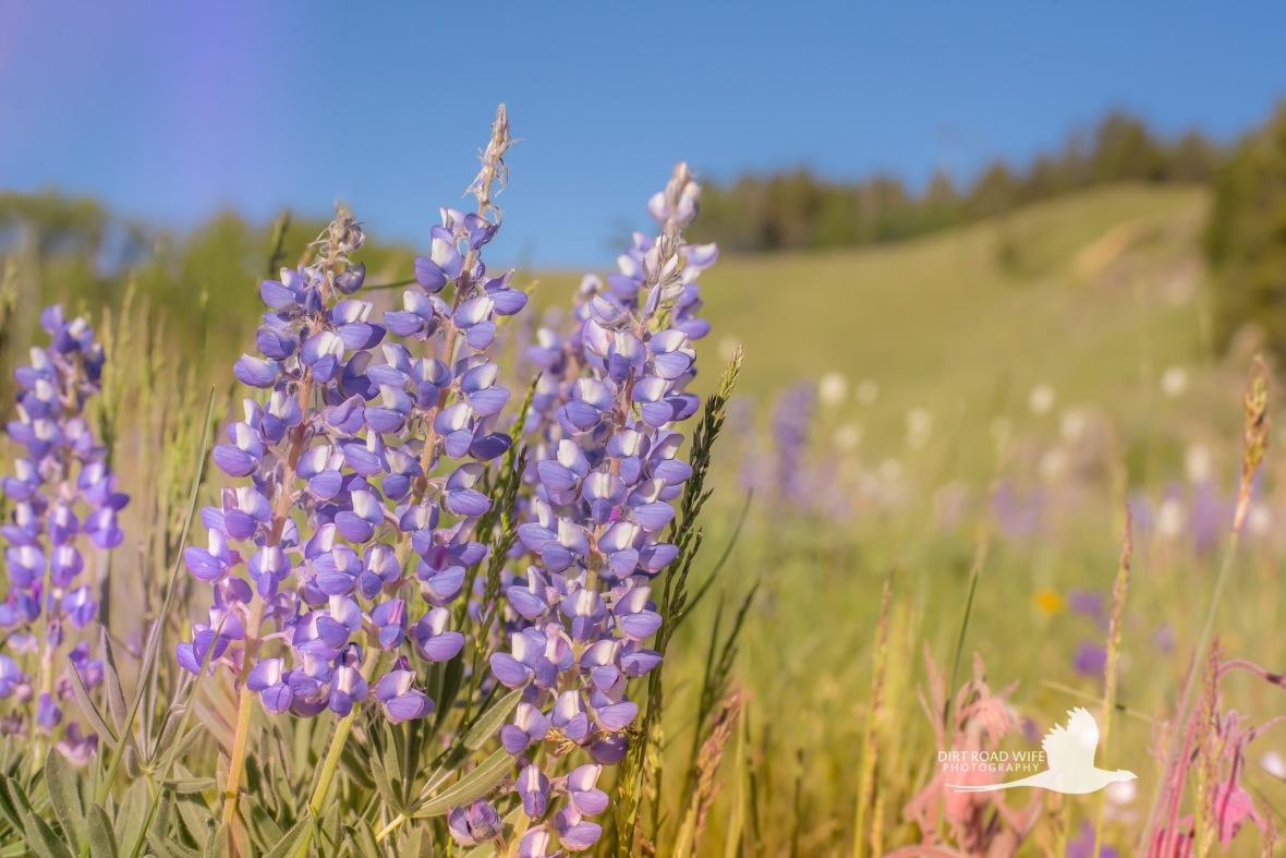 Wildflowers1DRW